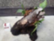 置き使用のコウモリラン・ヘゴ板付け No5  こんな本場のへゴ板なんて手に入らない・超限定品。どれも全て形が違うヘゴ板。自然の形をそのままコウモリランにヘゴ板付けしています。 一般的なコウモリランのヘゴ板付けに飽きた方はワンランク上のヘゴ板付けをしてみてください。 水槽の中で植物を育てるアクアテラリウムやテラリウムに利用したら誰もが目をひくだろう。 ※限定生産のため同じものは手に入りません。  ※写真現品 ※高さ30㎝ほど ※地面に置き使用 1株 7800円 売り切れ