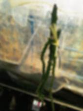 イエロードラゴンフルーツ(イエローピタヤ)特大苗No.02  写真が現品  特大苗 3300円 売り切れ