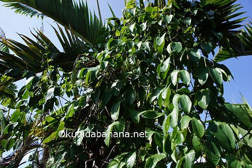 沖縄県石垣島の農園でのガックフルーツ栽培の様子