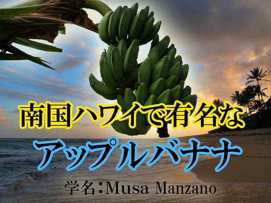 南国リゾートハワイでは有名なアップルバナナ。 その名の通りリンゴ味のバナナ。 触感はモチモチで酸味がやや強く食べると ほんのりリンゴの味がするとわかる。  栽培してて意外に耐寒性が優れていることが分かった。 埼玉県・千葉県では路地植えで冬を越しました。  弊社では数年前に苗木を輸入し増やしていました。 全て株分けした苗木を提供します。 関西、関東方面でしたら冬場は幹に保温対策をしていただくと 地植え可能な品種。 大型の品種ですので2~3mほど大きく成長します。 (鉢植え栽培可能) ※アイスクリームバナナよりは耐寒性は弱い。 ※この価格でこれだけの上物な苗木は他では手に入りません。