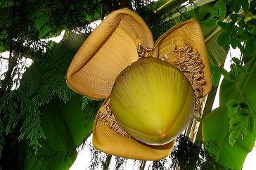 今現在、ジャパニーズバナナ(芭蕉)の生産は中止しています 再販予定は未定の状態です。申し訳ございません。