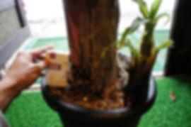 スーパーミニバナナ特大苗NO3!株分けした苗木 ※一番開花が早い大きさの苗木 10号鉢に植えていますので植え替え不要で開花までいけます。インテリアに最適な大きさです。 この大きさから開花まで約6ヶ月ほど(環境により違います)。 ※このクラスはお一人様1本までと制限をさせていただいています 特大苗No3:6500円  ただいま生産中のためお待ちください