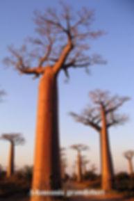 バオバブの木販売/アフリカから直輸入した貴重なバオバブ・バオバブの木の育て方