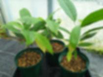 1年物・レッドカカオ大苗・数量限定・写真見本  大きいカカオが実る品種です(Large Rounded Orange Red Cacao Fruit)  品種:トリニタリオ種(TRINITARIO)  大苗 3500円 売り切れ