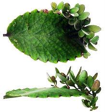 """不思議な植物・セイロンベンケイ(マザーリーフ)大苗・写真見本 学名:Kalanchoe pinnata  これは珍しい植物で葉っぱから芽が出る変わった植物。葉を切り取り表向きにして土の上に置いておくと、葉の末端から新しい芽が発生する。栽培も簡単。Good-luck leaf""""(幸運の葉)と呼ばれているそうです。 全て株分けで増やしている苗木です。 1鉢    2500円 完売"""
