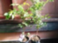 激安!ジャボチカバ特大苗木(小葉系) 写真見本  品種:小葉系(ミウーダ) 英語: Jabuticaba 原産地:ブラジル 日本でも栽培者が急激に増えているジャボチカバ。耐寒性もマイナス3度程度耐えるために人気が強い。 味は薄い味の巨峰に近い。栄養も豊に含まれていることから人気が高い。 幹に実が付くので面白い果実でもある。環境が合うと孫どの代まで生きると言われています。 ※接ぎ木した親の木から挿し木で増やした苗木になります。実はなりやすいです。 特大苗                 3980円  特大苗2本セット    7500円 ご注文はこちら