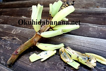 ミリスワンプバナナ(Musa campestris var. miriensis(Miri SwampBanana)   学名:Musa campestris var. miriensis  原産地:ボルネオ  耐寒性:5度程度  ホワイトバナナと似ていて小型で室内管理ができるバナナ。実はグリーン色を。