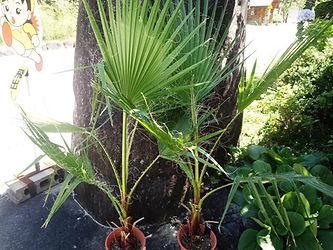 常緑耐寒性ヤシのワシントンヤシ特大株  学名:Washingtonia filifera 別名:ワシントニアパーム  日本でも普通に路地に植えられ冬を越している常緑耐寒性ヤシ。 耐寒性は抜群です。独特の葉の形はまさに南国です。雪の積もらない地域なら地植えも十分に可能。 状態をきれいに保ちたいなら鉢で冬は室内がベスト。  ※写真見本ですが同等クラスを手配します。 ※株が大きいのので葉を丸めて入れますので折れる場合がありますがご了承くださいませ 上物の良い株です。  1鉢   4800円   完売