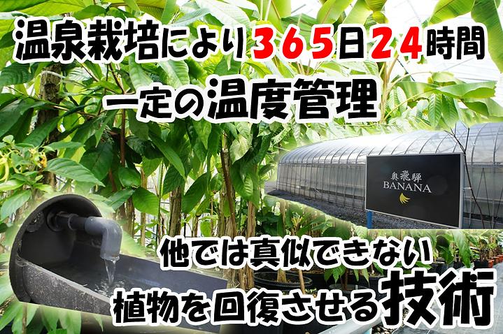 温泉栽培により365日24時間一定の温度管理。 他では真似できない植物を回復させる技術