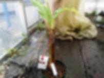 小型品種のスーパーミニバナナ中苗&リンゴ味のアップルバナナ大苗