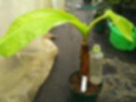 耐寒性食用バナナ・アイスクリームバナナ極太苗 (見本) 品種:アイスクリームバナナ 学名:Musa icecream 極太苗 4900円 ご注文はこちら