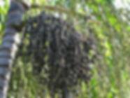 スーパーフルーツ・ドワーフアサイパーム大苗(アサイー)・写真見本 ドワーフアサイパーム 学名:Euterpe oleracea Dwarf 原産地:ブラジル 近年日本で話題のスーパーフルーツのアサイー。 アサイーの実は非常に栄養価が高い。ポリフェノールはブルーベリーの18倍。 ドワーフタイプなので2m前後で結実する品種。 1鉢        3300円 完売 2鉢セット  6400円