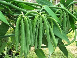お得なバニラの木・バニラビーンズ苗木/バニラ・プラニフォリア  写真見本 バニラビーンズ バニラ属  学名:Vanilla 別名:バニラ・プラニフォリア アイスクリームなどでおなじみの香辛料。バニラはランの仲間で、世界の熱帯地域で広く栽培されています。甘いバニラの香りは、この植物の果実から得られるものでアイスクリームやカスタードクリームに入っている黒い小さな粒々がこの植物のタネである。香りの素。バニラを育てるという楽しみが最大の魅力。 1鉢         1500円   2鉢セット  2800円   3鉢セット  3900円 4鉢セット  4800円  ご注文はこちら