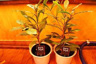 不思議な果実・ミラクルフルーツ中苗・写真見本・数量限定 西アフリカ原産のアカテツ科の果物。 食べた物を甘く感じさせる特徴を持つミラクルフルーツ。 栽培は簡単です。酸性土壌を好むと言いますが水はけさえよければ育つ。  ※挿し木で増やした苗木です。  1鉢    1600円  完売  2鉢セット  3000円