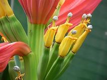 インドドワーフバナナ (Musa laterita)    学名:Musa laterita 流通名:インドドワーフバナナ 原産地:インド・ボルネオ 耐寒性も比較的あります。 大きくならず鉢植えで室内でも十分楽しめます