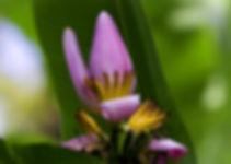 ヴィオラセアバナナ  学名:MUSA violacea  別名:赤バナナ  原産地:インド     花が紫色のバナナ。全丈は1メートル強とあまり伸びない。果実は食べられる。主に観賞用バナナ。