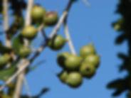 人気のマカダミアナッツ(ボーモント)   発芽の様子はこちら Macadamia integrifolia x M. tetraphylla  誰もが耳にしたことがあるマカダミアナッツ。交配により新しくできた品種です。 花はきれいなピンク色の花を咲かせます。早くて4年で実がなりますよ。 種まきの前には数日間は水に浸けます。発芽はおそいので気長に待ってください。 寒さには弱いので冬は室内で管理してください。   5粒  900円  完売  10粒 1700円
