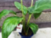 タッカ・シャントリエリ(ブラックキャット)特大苗 写真見本・数量限定です 科属名:タシロイモ科タシロイモ属(タッカ属、Taccaceae)  原産地:インド  紫色の長いひげを伸ばしている様子がコウモリに似ているため、コウモリの花とも言われている。 花は美しく、ゴージャス。なかなか普通の園芸店では売っていない。花が咲けば2週間ほど楽しめる。 ※写真見本。。※花は何度も咲いている株です。一度花が咲けばまた花が咲いてきます。 1鉢  4980円 少々お待ちください