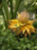 チユウキンレン(地湧金蓮)  和名:チユウキンレン  流通名:チャイニーズイエローバナナ 学名:Musella lasiocarpa  原産地:中国雲南省     耐寒性が非常に強いのが特長です。主に観賞用に用いられます。花は4~6ヶ月の期間は鑑賞できます。