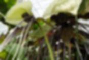 そのほか、奥飛騨ファームではカカオや、ヤシの木はもちろん数々の熱帯の植物(トロピカルフラワー)も栽培している。  気軽に南国気分を味わえる  インテリアとして注目されている。  (写真:ホワイトバットフラワー)
