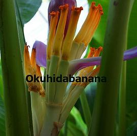 大振りでしっかりとした花や、白にピンクの花が咲くカラフルな品種のバナナが多数栽培されている。  南国フルーツならでは美しさだ。  (写真:白いバナナが実るホワイトバナナ)