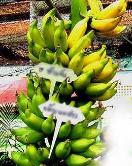 ・KLUAI NOM SAOバナナ  (Musa klual nom sao)  タイ原産のローカルなバナナ  人気度:★★