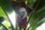 耐寒性食用のデュスレバナナ大苗!株分けした苗・写真見本 学 名:Musa Dhusre 海外では耐寒性が強いと言われている品種。栽培しててアイスクリームバナナ並みに耐寒性はある。輸入した苗木を元に株分けで増やした苗木になります。だからどこよりも安い価格です。特徴は大型なので3m程大きくなります。一度収穫し試食していますが味は美味しいです。独特の味です。