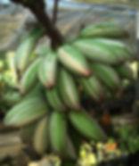 ・斑入りフロリダバナナ  (Musa Florida)  斑入りバナナの中では有名な品種  もちろん実も斑入りです  美しい独特の斑入りの葉っぱに癒されてください。  人気度:★★★