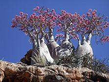 原産国から直輸入した砂漠のサボテン(アデニウム)  日本では砂漠のバラとして流通しているアデニウム  美しい花を咲かせ独特の木の形をした魅力的な植物  Adenium Obesum