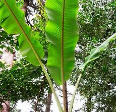 チーズマンズバナナ Musa cheesmanii  インド北東部に自生する野生のバナナ。花は白く魅力的。ダージリンバナナの交配種の関係で耐寒性も優れている。