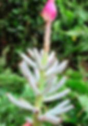 ホワイトバナナ  学   名:Musa campestris var. limbangensis (Light) 流通名:Limbang Swamp Banana (ホワイトバナナ) 原産地:ボルネオ     耐寒性は5度程度。実は白色です。背丈は低いので小さな鉢で室内で実がなります  非常にめずらしく流通はしていない。