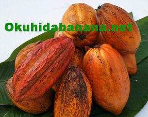 奥飛騨ファームではバナナ以外にカカオ栽培に力を入れています。栽培環境はバナナと全く同じ温泉湯気栽培。予定では2015年までにはカカオ栽培専用の温泉ハウスを設立し「世界最北端のカカオ栽培」を計画しています。カカオの生産国ではバナナの木のふもとで栽培されています。カカオは直射日光を嫌うため、バナナの大きな葉っぱにより影ができ最適な環境になります。全く同じ環境を奥飛騨ファームで実現予定でいます。今現在はカカオの実を輸入し種から苗を生産し販売している状態です。