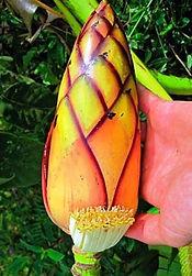 マニラ麻バナナ Musa Textilis  ※なかなか流通していないバナナの種子です。  学   名:Musa textilis (Borneo) 流通名:マニラ麻 原産地:フィリピン・ボルネオ  茎がかなり強く強い風でもなかなか折れないタフなバナナ。耐寒性もかなり 強い。日本では流通はしていない。原産地では幹の繊維を利用しバックなど作られている。