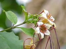 Srophanthus preussii