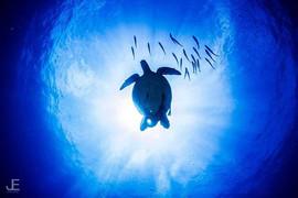 Turtle silhouette _#underwaterphotograph