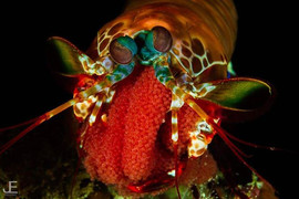Peacock Mantis Shrimp guarding its eggs
