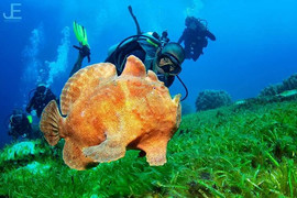 Everybody loves a swimming frogfish_#jam