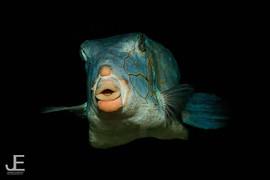 Adult yellow box fish__#jamesemery #unde