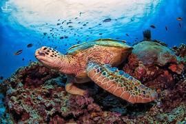 A huge Green Turtle _#jamesemery #underw