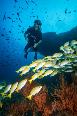 Yellow Snapper and Diver.jpg
