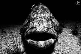 Big Groupers aren't shy__#jamesemery #un