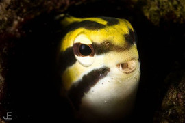 Cute face_Striped Fang Blenny (Meiacanth