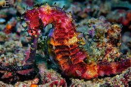 Thorny seahorse__#jamesemery #underwater