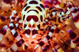 Coleman Shrimp__#jamesemery #underwaterp