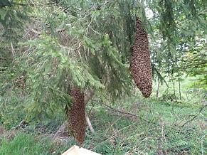 Zwei_Schwärme_am_Baum.jpg
