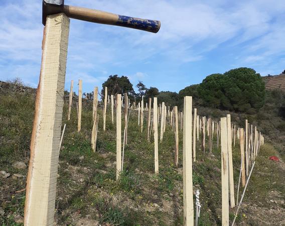 Tuteurage Carignan du Mas Bentous, piquets en acacia