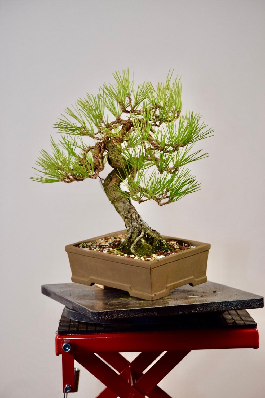 styled japanses black pine bonsai against white wall