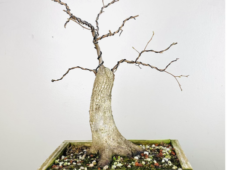 #ProgressionThursday - American Elm Bonsai