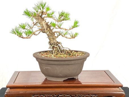 #ProgressionThursday - Twisted JBP Bonsai