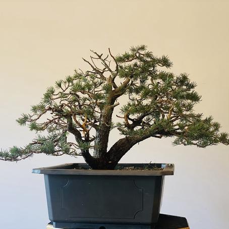 Bonsai Progression - Pinyon Pine - Initial Styling